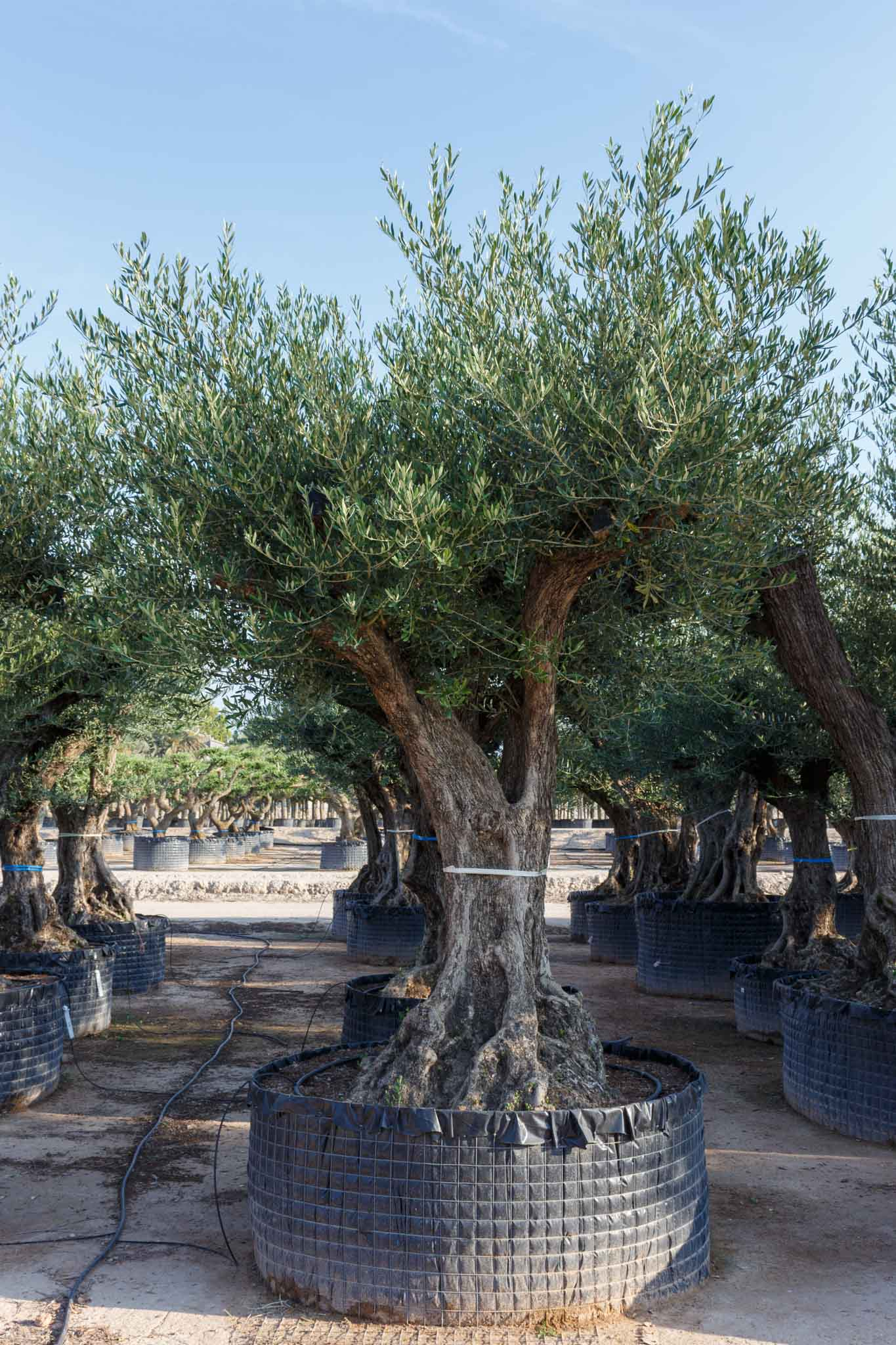 Olive tree old trunk