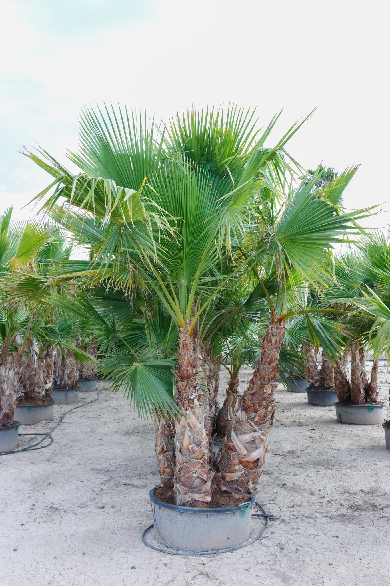 Grupo de washingtonia robusta